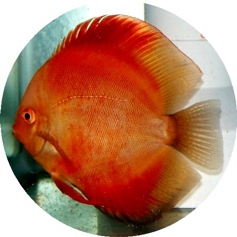 Red Virgin Discus Fish  5-6 inch